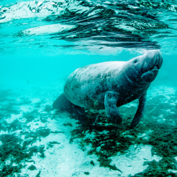 Meet a Manatee during your next Orlando Family Vacation